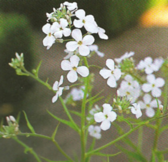 hesperis matronalis white