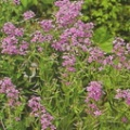 hesperis matronalis purple