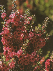 leptospermum scoparium ruby glow