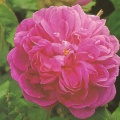 rosa old rose damask rose de resche