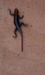 285856 Blue headed lizard 0