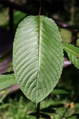 kratom leaves2