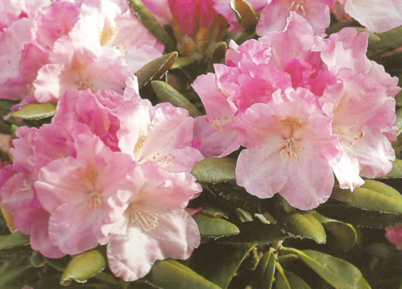 rhododendron degroniamum