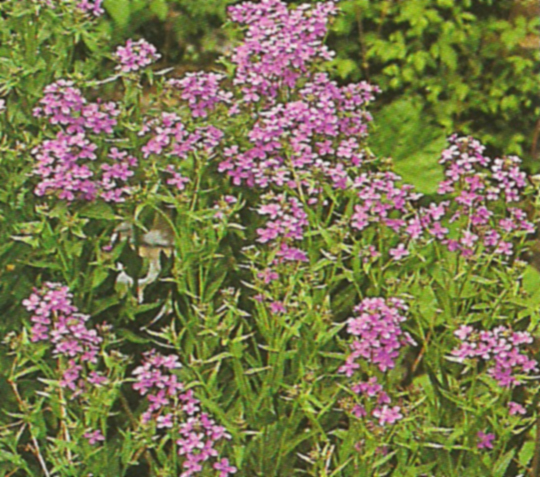 hesperis_matronalis_purple.jpg
